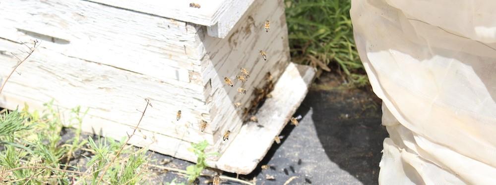 גידול דבורים בישראל
