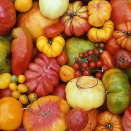 מקורות העגבנייה