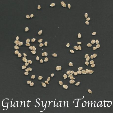הנבטת זרעי עגבנייה